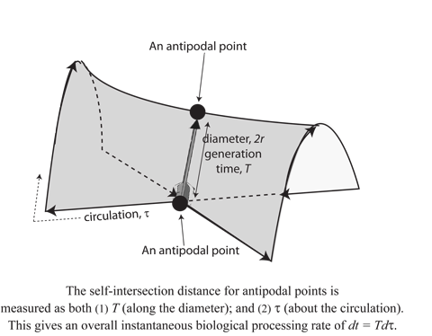 Figure 8: A biological generation as Whitney umbrella & self-intersecting 'pinch point'